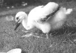 junger Storch